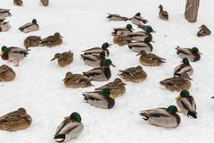 Mallard ducks in the snow in the city Park. Winter day.  Stock Image