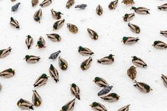 Mallard ducks in the snow in the city Park. Winter day.  Royalty Free Stock Image
