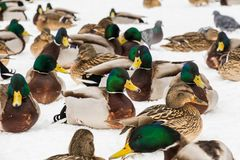 Mallard ducks in the snow in the city Park. Winter day.  Royalty Free Stock Photos