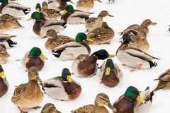 Mallard ducks in the snow in the city Park. Winter day.  Royalty Free Stock Photography