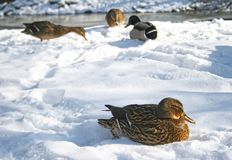Mallard ducks on the snow. Female mallard duck resting in the snow on the bank of a river in Vilnius, Lithuania Royalty Free Stock Image