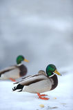 Mallard Ducks on Snow in Winter Stock Photography