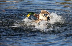 Mallard ducks splashing in water. Taken hogganfield loch glasgow Scotland 1 november 2015 by Bob Flynn Royalty Free Stock Images
