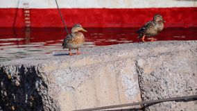 Mallard ducks stand on a stone. Two beautiful ducks stand on a stone next to a red and white ship in pink-blue water stock video footage