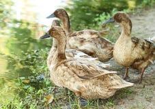 Mallard ducks standing. Near the river Stock Photography
