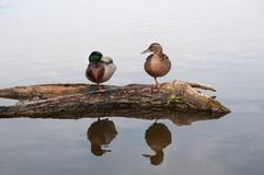 Mallard ducks standing on a log. A pair of mallard ducks standing on one leg on a log in the water looking at each other Stock Photos