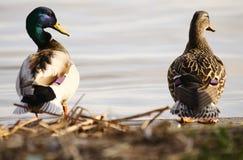 Mallard ducks. 2 mallard ducks standing by the river Stock Photo