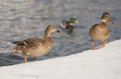 Mallard ducks. Standing on the snow Stock Photo