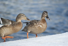 Mallard ducks. Standing on the snow Stock Image