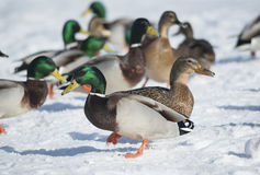 Mallard ducks. Standing on the snow Royalty Free Stock Photo