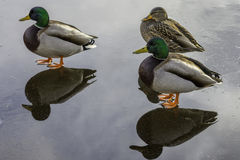 Mallard ducks standing. Together on a frozen lake with reflections on the ice.Victoria,British Columbia Canada Stock Image