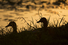 Mallard Ducks at Sunset Stock Photography