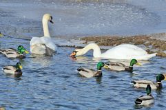 Mallard Ducks and Swans Swimming in the Lake Royalty Free Stock Image