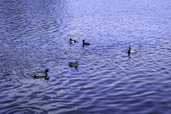 Mallard ducks swim on the lake. Mallard ducks swim lake animal animals background birds blue mallards nature russia summer water royalty free stock photography