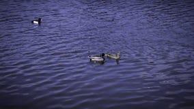 Mallard ducks swim on a lake. Mallard ducks swim lake animal background bird blue environment fauna nature russia spring water wildlife royalty free stock photography