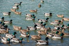 Mallard ducks swim in the lake. A large group of mallard ducks are bathed in the water Royalty Free Stock Image