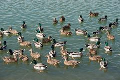 Mallard ducks swim in the lake. A large group of mallard ducks are bathed in the water Stock Images