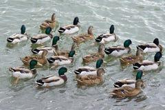 Mallard ducks swim in the lake. A large group of mallard ducks are bathed in the water Stock Photos