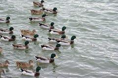 Mallard ducks swim in the lake. A large group of mallard ducks are bathed in the water Stock Photo