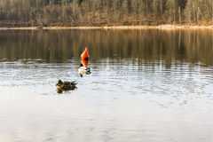 Mallard ducks swim next to the buoy. Royalty Free Stock Image