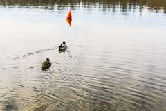 Mallard ducks swim toward the buoy. Royalty Free Stock Photos