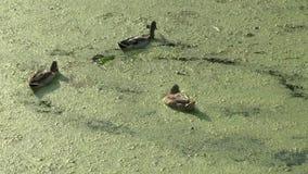 Mallard ducks swim in water and feed on duckweed. Video Full HD stock footage
