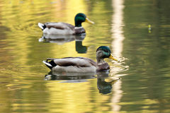 Mallard ducks swiming in lake or river. Birds and animals, autumn season in wildlife. Royalty Free Stock Photo