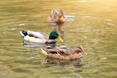Mallard ducks swiming in lake or river. Birds and animals, autumn season in wildlife. Stock Photos