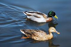 Mallard Ducks Swimming. A couple of Mallard Ducks Swimming in a pond Royalty Free Stock Images