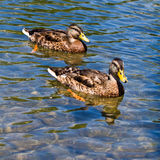 Mallard Ducks Swimming. Two juvenile male mallard ducks swimming in a pond Stock Images