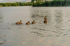 Wild ducks swimming in a pond. Mallard Ducks Swimming in the Autumn Pond Royalty Free Stock Photo