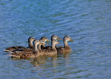 Mallard Ducks. Swimming in the blue water pond Royalty Free Stock Photography