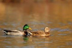 Mallard Ducks swimming in Fall at Dusk stock images