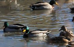Mallard Ducks swimming in icy water stock photo