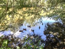 Ducks swimming in a pond in the swamps. Mallard ducks swimming in a lagoon under a cypress tree Stock Photo
