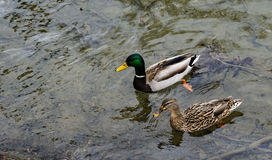 Mallard Ducks Swimming Royalty Free Stock Photos