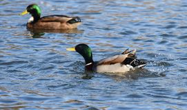 Mallard ducks swimming. A pair of Mallards swimming on a lake Royalty Free Stock Photos
