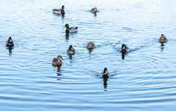 Mallard ducks. Ducks swimming in a a pond Royalty Free Stock Image