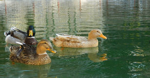 Mallard Ducks. Swimming in a pond Stock Photography