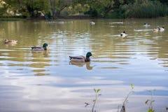 Mallard ducks swimming in a pond in the evening. Garin Dry Creek Pioneer Regional Park, San Francisco bay, California Royalty Free Stock Photos