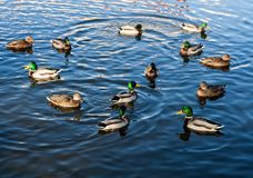 Mallard ducks swimming in pond. Herd of mallard ducks swimming in pond. Birds in outdoor Stock Images