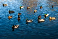 Mallard ducks swimming in pond. Herd of mallard ducks swimming in pond. Birds in outdoor Stock Photo