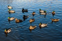 Mallard ducks swimming in pond. Herd of mallard ducks swimming in pond. Birds in outdoor Royalty Free Stock Photo