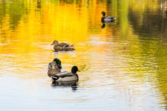 Mallard ducks swimming in pond in fall. Mallard ducks swimming in pond with reflection of warm fall colours in the water Stock Photo