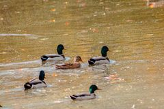 Mallard ducks swimming in a pond at Riverside Park. During a fall day Stock Image