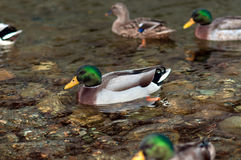 Mallard Ducks. Swimming in river Stock Image