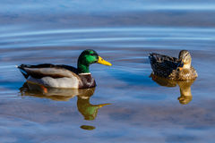 Mallard Ducks swimming at Roosevelt Lake, Arizona. Pair of Mallard ducks drake & hen swimming together on Roosevelt Lake, Arizona Stock Photography