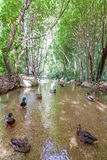 Mallard ducks swimming on a small creek Royalty Free Stock Images