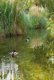 Mallard ducks swimming on a small creek Royalty Free Stock Photography