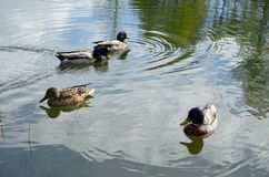 Mallard ducks swimming in summer pond looking for food Stock Photos